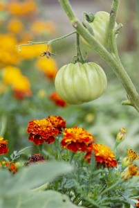 close up of green tomato on stalk above red and yellow marigolds